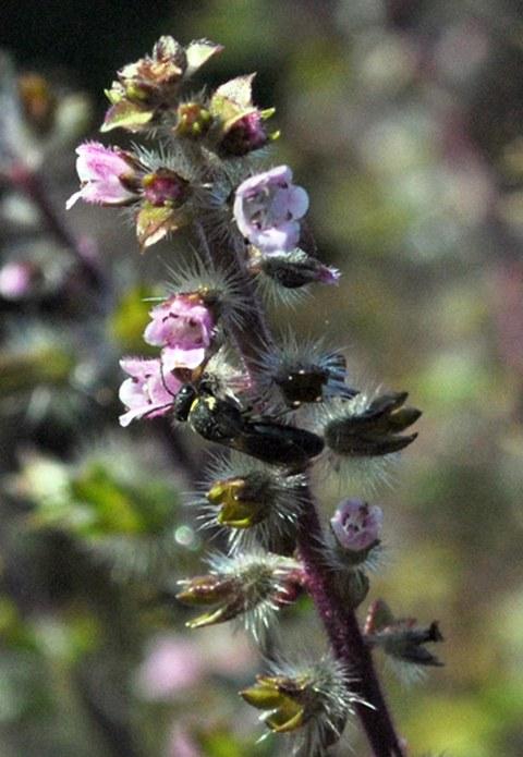 Foto eines Blütenstands der Perilla mit einer Biene