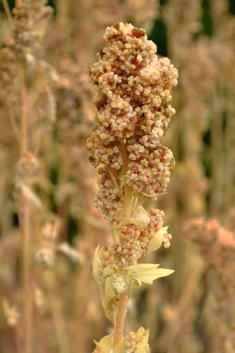 Quinoapflanze