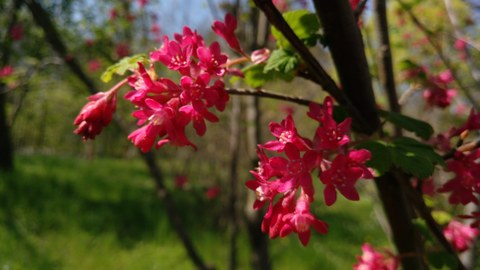 Pink flowers of Ribes sanguineum