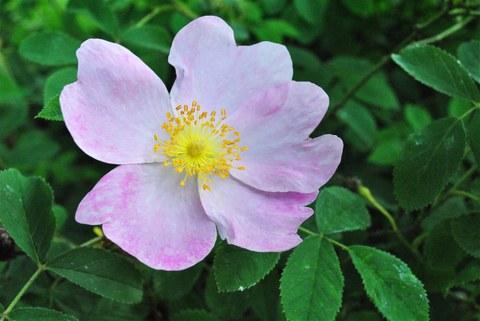 Foto der Blüte der Essig-Rose Rosa gallica
