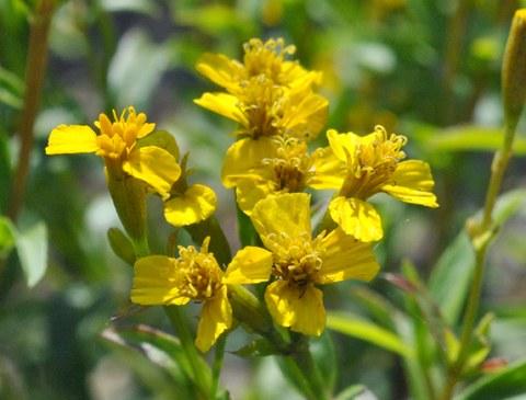Foto der gelben Korbblüten von Tagetes lucida