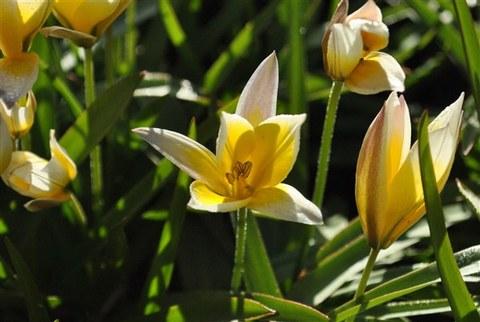 Tulipa tarda - Späte Tulpe