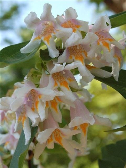 Blüten von Dipelta floribunda