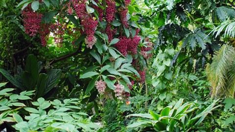 Foto eines Weges im Regenwaldhaus 1. Von links wächst eine Medinilla mit rosa Blüten und violetten Beeren über den Weg.