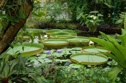 Foto der Riesenseerose im Regenwaldhaus 2.