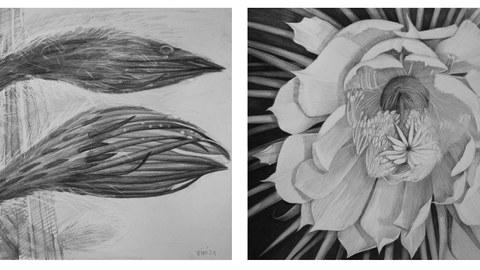 Schwarz-Weiße Zeichnungen von zwei Knospen sowie von einer Blüte der