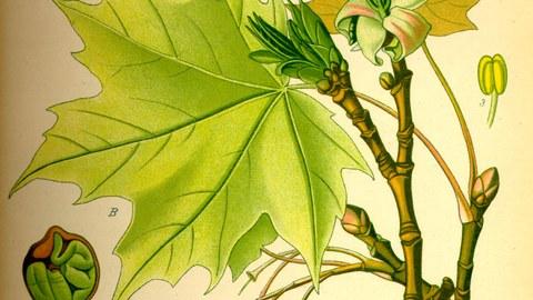 Historische Buchseite mit Illustration eines Acer platanoides