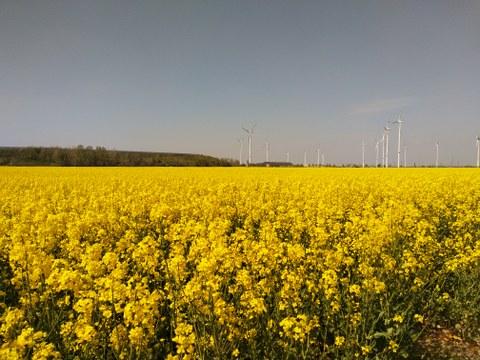 Foto eines blühenden Rapsfeldes, im Hintergrund Windkraftanlagen