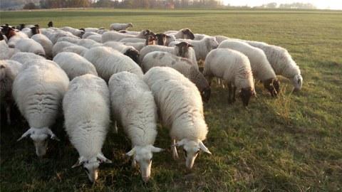 Foto von Schafen auf der Wiese