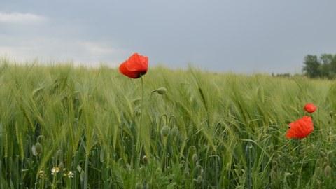 Foto eines Getreidefelds mit zwei roten Mohnblumen