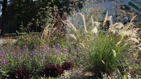 Calamagrostis und Verbenen