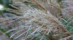 Detail Hülssebeete: Miscanthus sinensis I