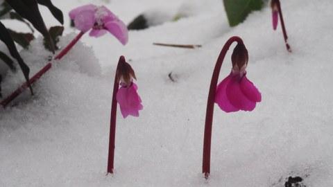 Veilchen im Winter im Schnee