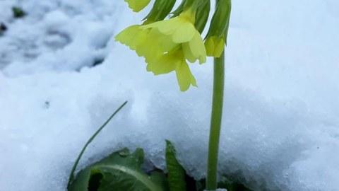 eine Himmelsschölüsselblume im Schnee