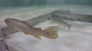 Bachforellen im Laborversuch Fischfreundliches Wehr
