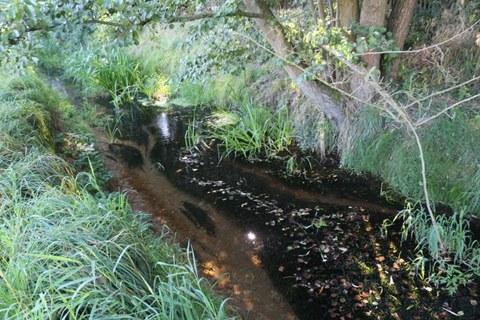 Wasserpest, Igelkolben und Rohr-Glanzgras im Mutzschener Wasser