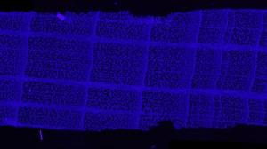 Mikrotomschnitt Rot-Buche