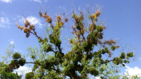 Absterbende Krone mit Aufsitzerpflanzen