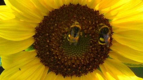 zwei Hummeln auf einer Sonnenblume
