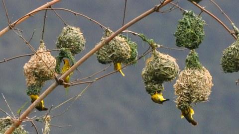 Vögel beim Nestbau