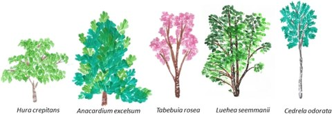 Five different tree species standing side by side, increasing in size from left to right: Hura crepitans, Anacardium excelsium, Tabebuia rosea, Luehea seemmanii, Cedrela adorata.