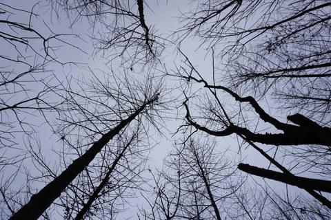 Das Foto zeigt unbelaubte Baumkronen, die von unten aufgenommen in den blauen Himmel ragen.