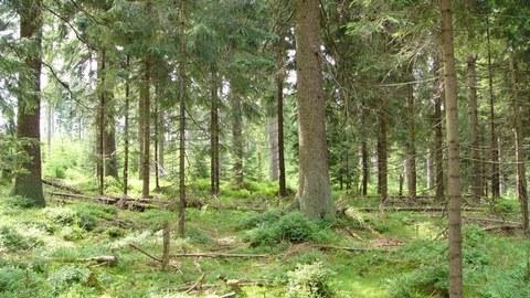 Die Aufnahme zeigt den Waldboden eines Fichtenwaldes
