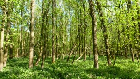 Das Foto zeigt einen Roteschen-Forst. Die gepflanzten Bäume stehen in üppiger krautiger Vegetation