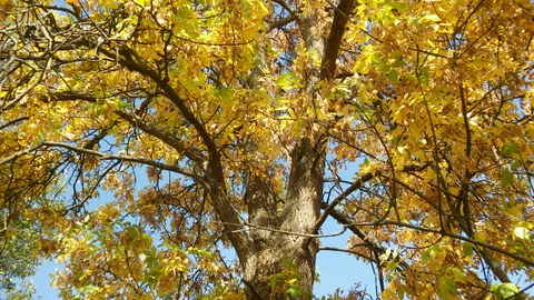 The photo shows a treetop with bright yellow leaves