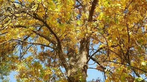 Das Foto zeigt eine Baumkrone mit leuchtend gelben Blättern