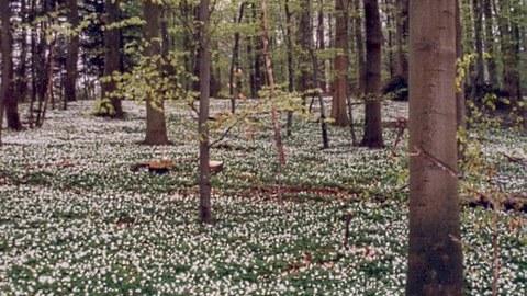 Eine extensive Waldbewirtschaftung ist geeignet, eine naturnahe, waldtypische Krautschicht zu erhalten