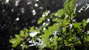 Eicheblätter im Regen