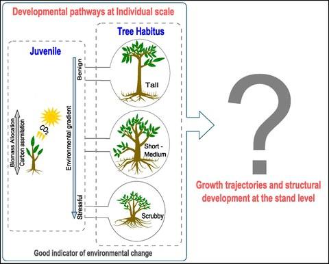Avicennia growth