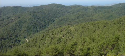 Brutia pine stands in the coastal region of Syria