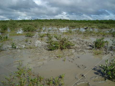 Mangrove Regeneration