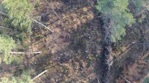 Luftaufnahme der Naturverjüngung eines Kiefernbestandes