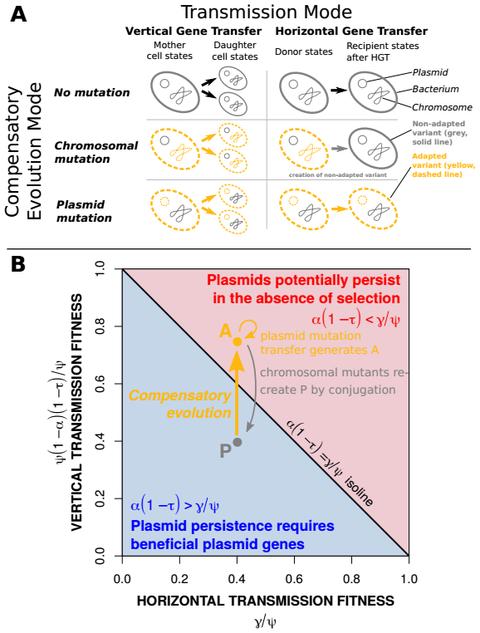 Forschungsfrage der Simulationsstudie: Wie wirkt sich die Übertragungsmöglichkeit einer Kompensations-Mutation auf die Fitness eines Plasmids aus?
