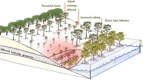 Zonierungsmuster von Mangroven