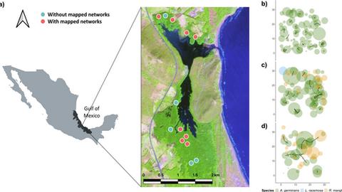 Karten des Untersuchungsgebiets und der Wurzelnetzwerke an der zentralen Küste des Golfs von Mexiko.