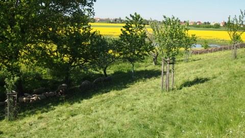 Foto: zu sehen ist eine grüne Wiese mit Bäumen in deren Schatten Schafe grasen und in der Ferne befindet sich ein großes Rapsfeld.