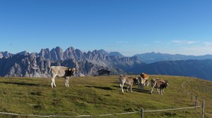 Mountainous landscape with cows grazing on an alpine meadow.