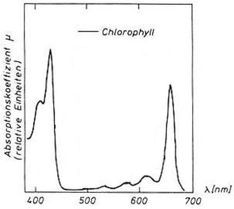 Abb. 6-12: Absorptionsspektrum von Chlorophyll (aus Kraus, 1988)