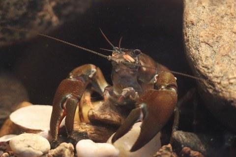 Photo of a signal crayfish