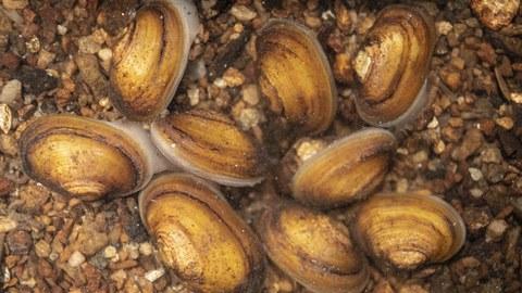 Aufsicht auf 9 junge Perlmuschel im Bachbett