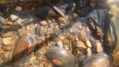 nachgezüchtete und markierte Flussperlmuscheln