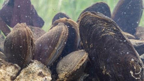 Flussperlmuscheln halb im Sediment vergraben, die Wasser filtrieren