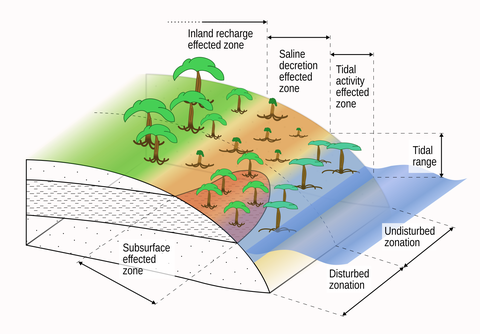Typical mangrove zonation patterns hypothetically influenced by subsurface properties