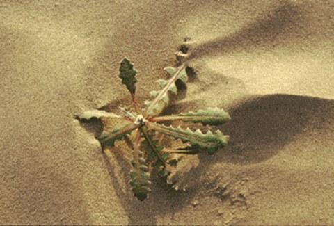 Dersert plant