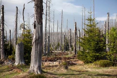 Zu sehen ist ein sterbender Wald