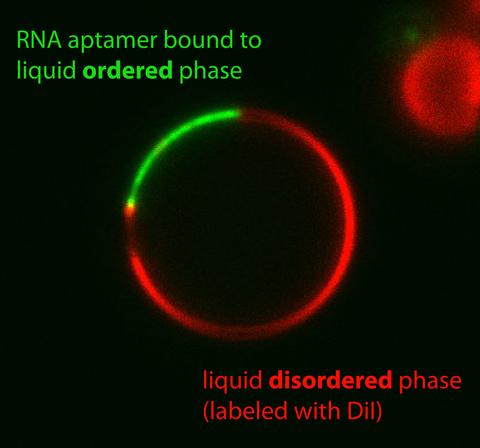 GUV - RNA aptamer bound to liquid ordered phase